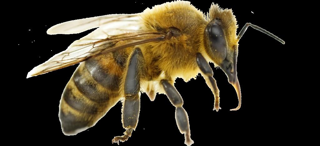 Bild på ett bi